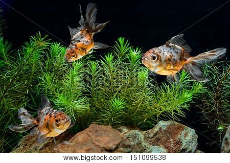 Goldfish in aquarium with green beautiful planted tropical