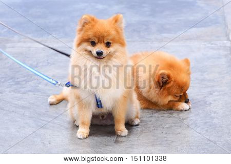 Two pomeranian dogs sat quietly awaiting orders.