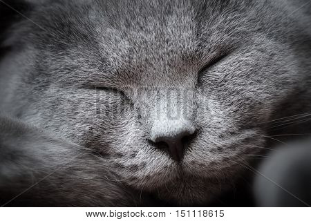 Face close-up of a young cute cat sleeping blissfully with cute smile. The British Shorthair pedigreed kitten with blue gray fur