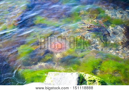 large pink jellyfish swimming in algae rich water