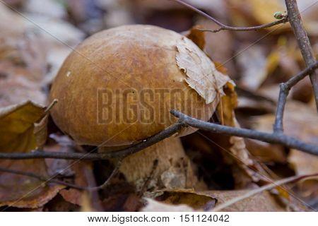 Boletus edulis or cep penny bun porcino or king bolete. Mushroom porcino or cep in it's natural habitat.