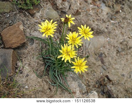 Modest yellow flowers meadow salsify made their way to the harsh rocky soil