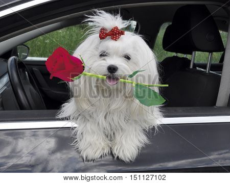 Maltese dog with a rose in teeth in the car looking out the window