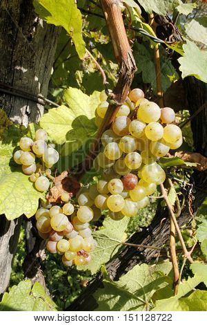 Sweet and tasty white grape bunch in the old vineyard