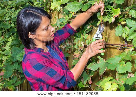 Young woman cutting grape branch with pruning shears in fall season