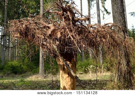 Rootstock of a coniferous tree for decoration turned upside down