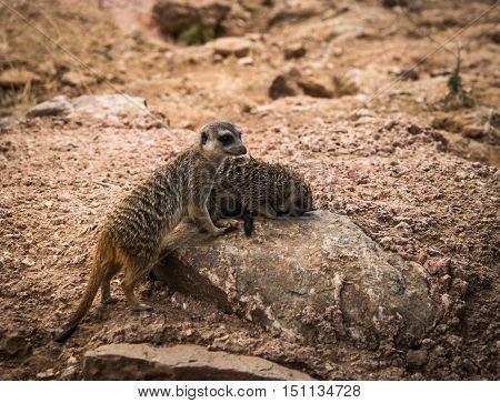 Company Of Little Meerkats Playing On The Meadow