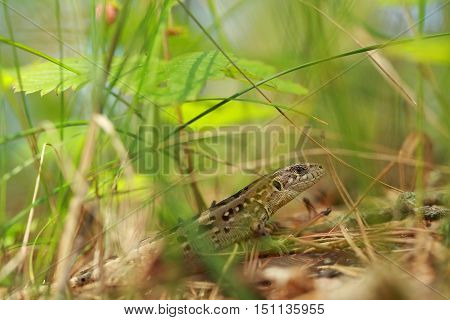 green Nimble lizard  lurking in the grass