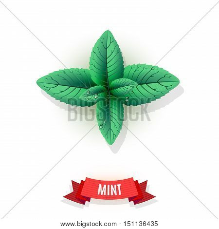 Leaves of mint herb. Mint leaves for seasoning dishes. Comic shaded ribbon. Herb with water drops. Vector illustration