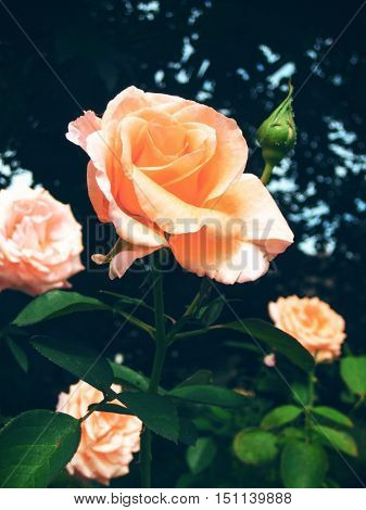 Pink orange Rose in garden in Portland Oregon