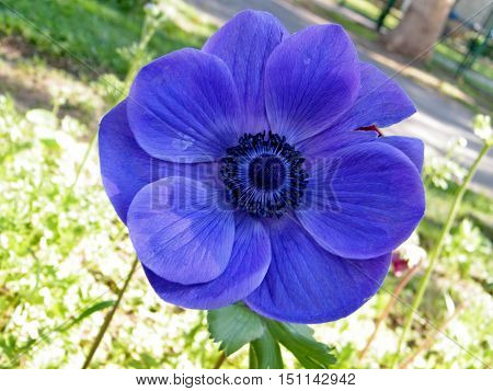 Blue Crown Anemone in park of Ramat Gan Israel February 6 2011