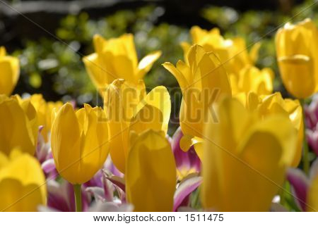 Yellow Purple Tulips