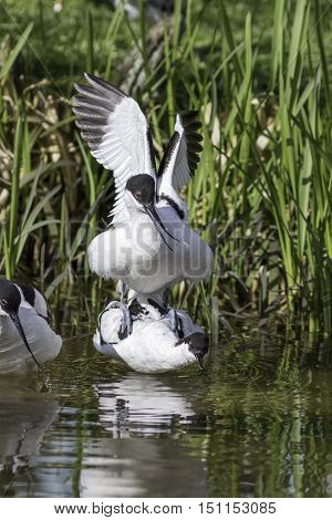 A pair of avocets (Recurvirostra avosetta) mating