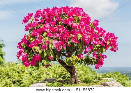 pink bougainvillea bonsai in garden on Mountain