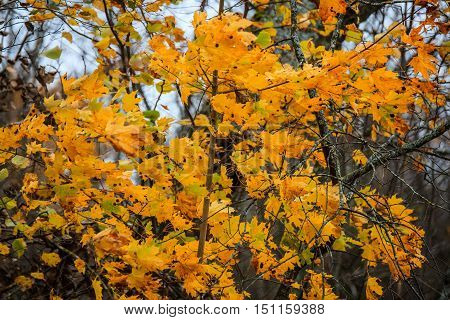 Golden maple tree in Autumn. Cloudy weather. Brunches and leaves with a bit of sky.