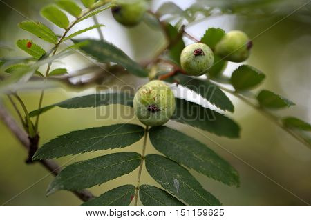 Green fruits of a service tree (Sorbus domestica L.)