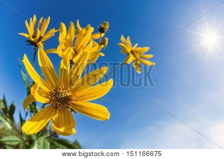 Flowering Jerusalem artichoke (Helianthus tuberosus). Blue sunny sky background with copy space.