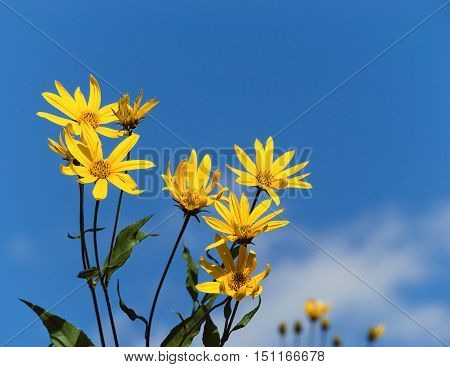 Flowering Jerusalem artichoke (Helianthus tuberosus). Blue sky background with copy space.