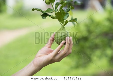 Woman hand holding a bergamot on tree