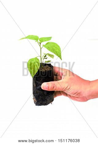 Hand holding small young tree isolated on white background.