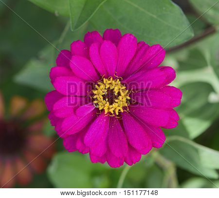 colorful zinnia flowers in the garden. top view