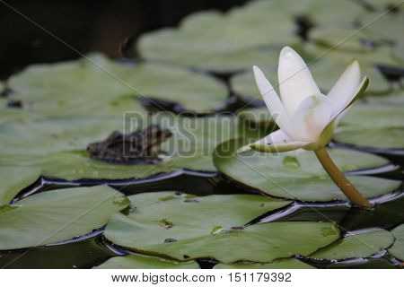 Frog on a lily pad, flowers in bloom during the summer.