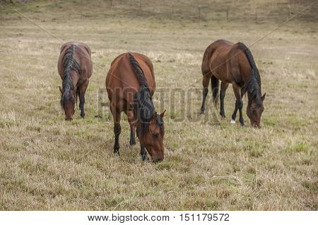 Three horses in pasture in north Idaho grazing on the grass.