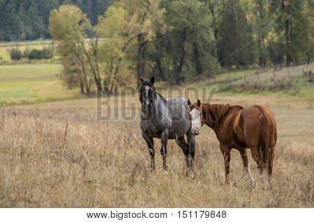 Horses in pasture in north Idaho grazing on the grass.