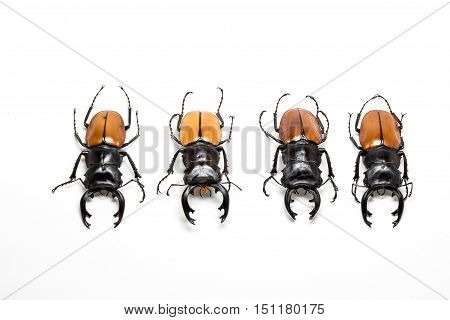 Group Of Stag Beetle (odontolabis Mouhoti ) Male