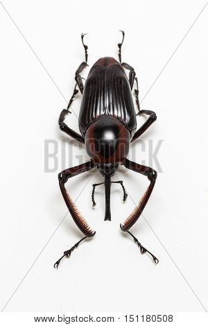 The Wild Snout Beetle on white background