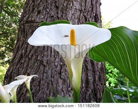 White calla lily in a garden with a bug