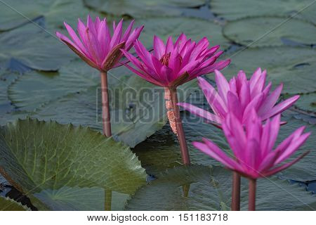 beautiful waterlily or lotus flower in the river.