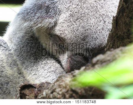 Australian koala marsupial asleep in a tree