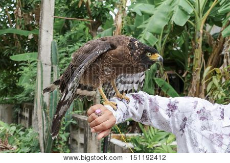 Falcon Peregrine or golden eagle Selective focus sitting on hand