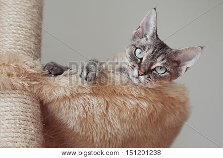 Beautiful devon rex cat laying on the scratching post in hammock. Cat Supplies and Equipment. Cat feels pleasure and safety at home