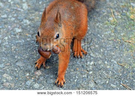 Greedy squirrel. Squirrel has two acorns in mouth.