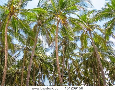 Forest of palm trees coconut in Samana Peninsula that surrounds the Playa Rincon in the northeast of the Dominican Republic. Coconut palms in the Caribbean peninsula. Background with coconut palms.