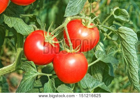 Three Big Ripe Red Tomato Fruits