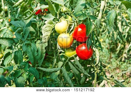 Tomato Fruits In Greenhouse Among Leaves