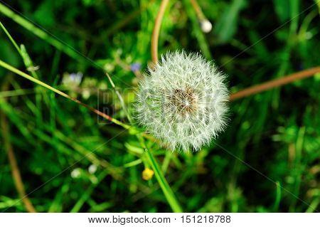 a blowball of dandelion in green meadow