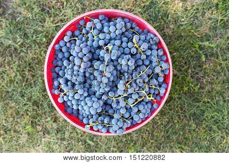 harvest of dark grapes in a bucket home wine making