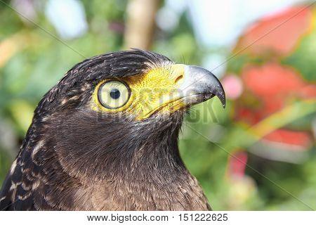 Falcon Peregrine   beautiful  or golden eagle Closeup.