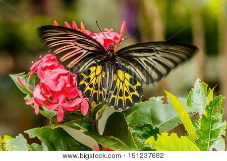 Beautiful Gulf Fritillary butterfly posed on a red flower feeding