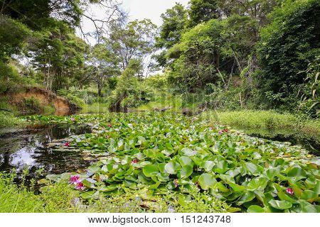 View Of Water Lilies On A Beautiful Pond. Kerikeri, New Zealand.