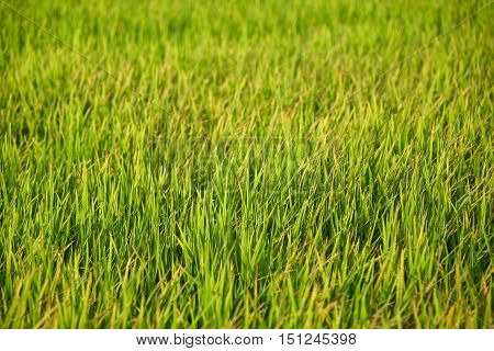 fresh spring green rice field or paddy - can use for pattern background in agriculture or health concept
