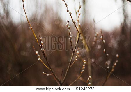 Pussy Willow Branches With Blue Background. Beautiful Pussy Will
