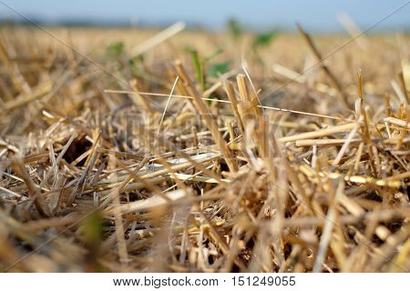 Beveled wheat field plant, cereal, harvesting industry