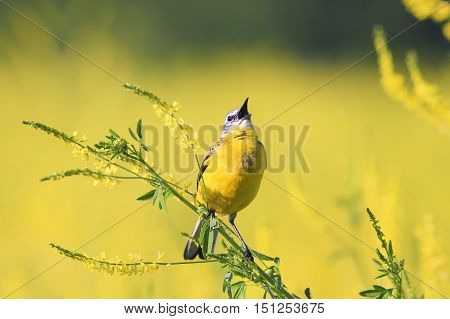 a bird sings on a bright yellow flowered meadow