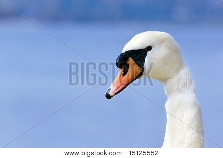 Close-up Portrait Of A Swan's Head