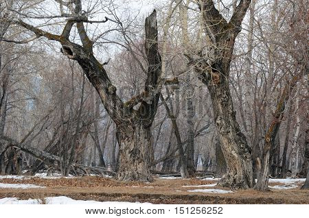 Grove With The Oldest Relic Poplars Near Lake Baikal
